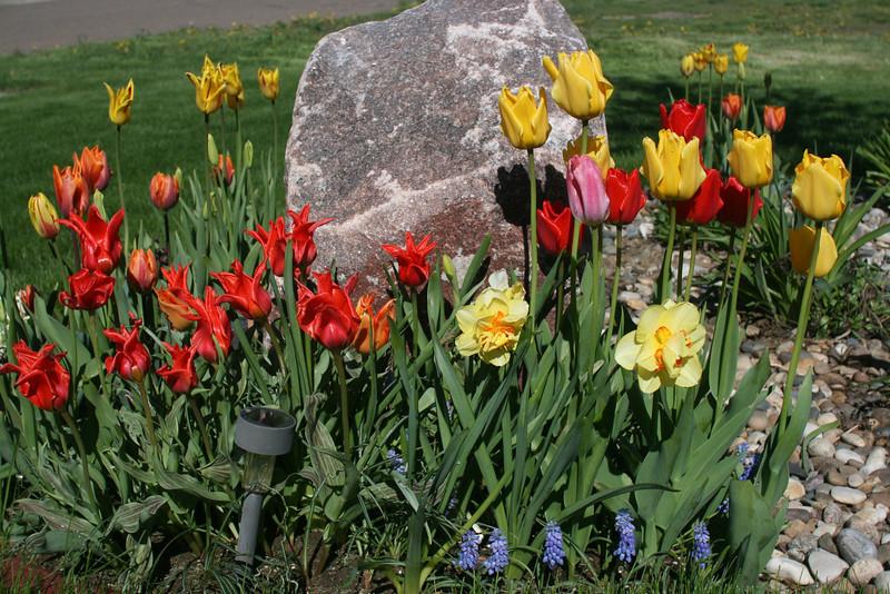 Tulips 2011 001.JPG