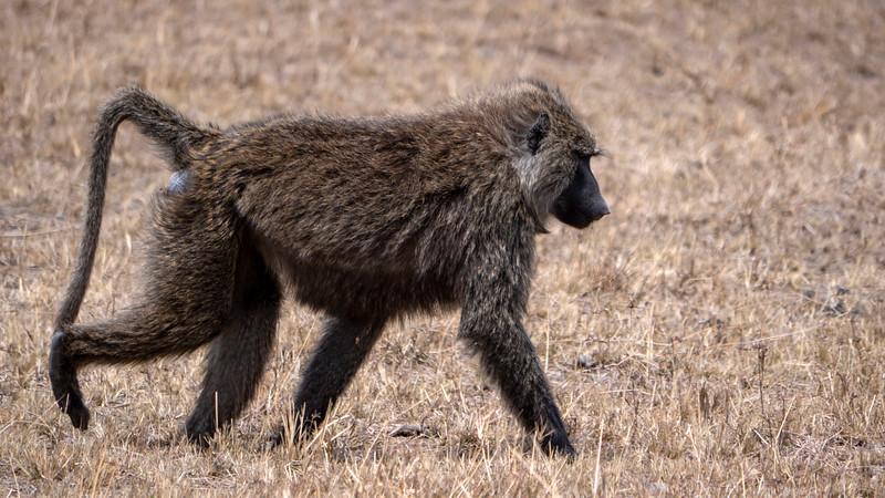 Tanzania-Serengeti-National-Park-Safari-Baboon-02.jpg