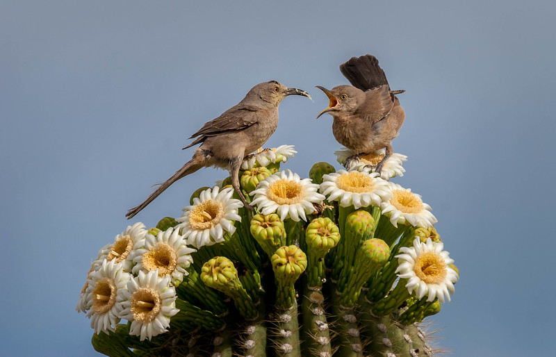 Thrashers and Saguaro Flowers