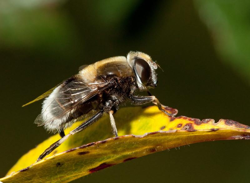 Bumblebee hoverfly (volucella bombylans).