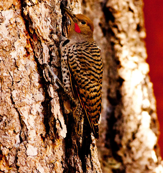 Northern Flicker Mammoth Lakes 2009 07 21 (5 of 7).CR2