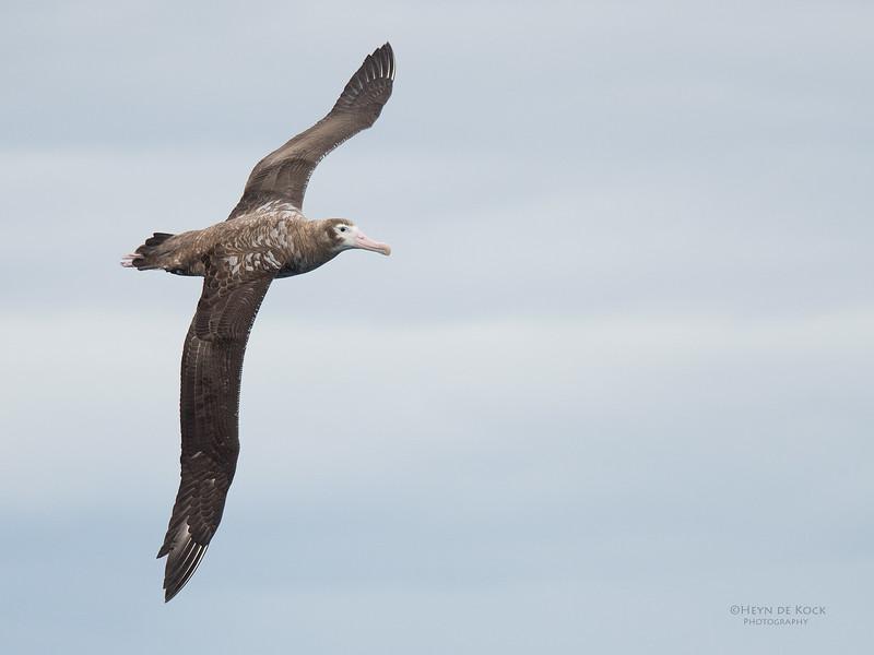 Wandering Albatross, Eaglehawk Neck Pelagic, TAS, Sept 2016-7.jpg
