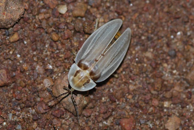 Firefly, AK Guyana 2011