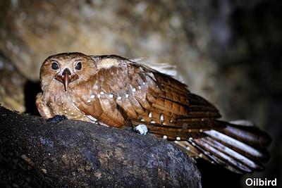 Oilbird, Asa Wright, Trinidad & Tobago