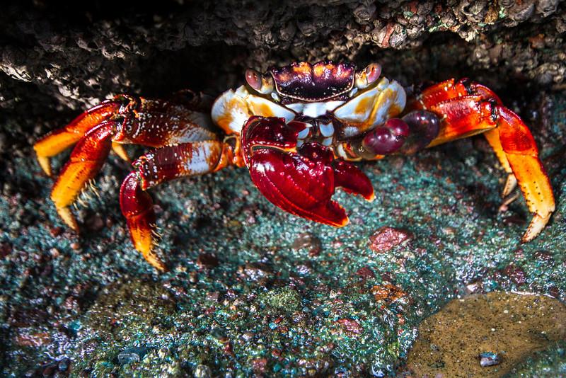 A Sally Lightfoot crab manaces its pinchers. Baja California, November, 2013.