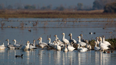 Merced County Bird Image Library