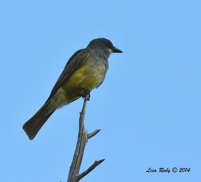 Cassin's Kingbird - 7/6/2014 - Poway Pond