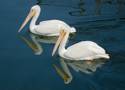 Taken at Cape Canaveral Locks - two white pelicans.