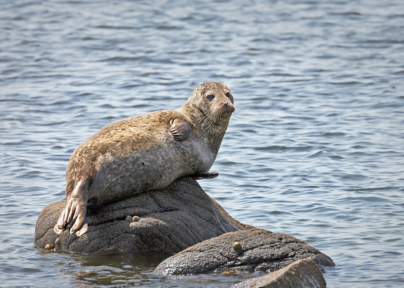 Common seal basking