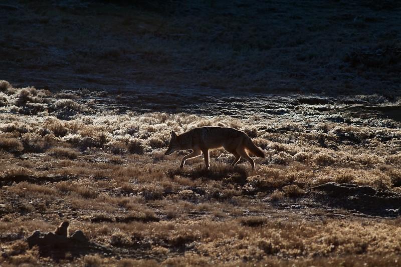 Coyote Teddy Roosevelt National Park ND IMG_7517.jpg