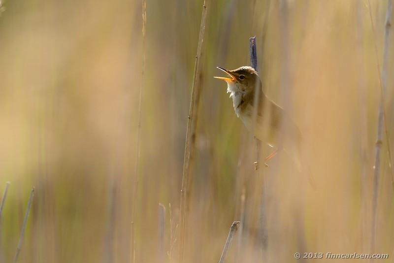 Rørsanger (Reed Warbler - Acrocephalus scirpaceus)