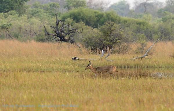Rietbok; Botswana; Okavango; Southern reedbuck; Redunca arundinum; Grand cobe des roseaux; Großriedbock