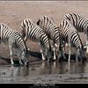 Zebras Taking a Drink