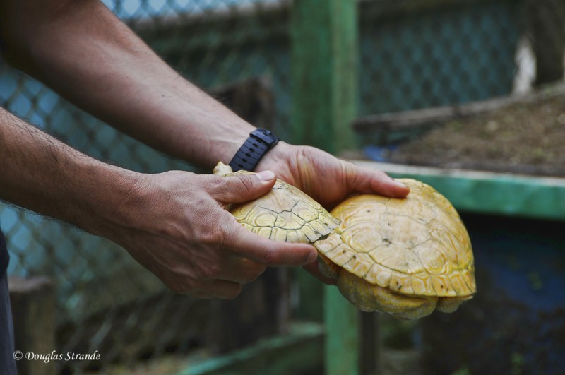 Cano Negro: Turtle Farm, albino turtles