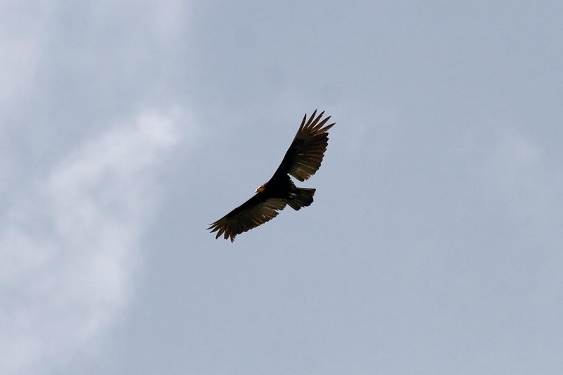 Greater Yellow-headed Vulture (1) at Madre de Dios River, Manu, Peru (2008-07-07).psd