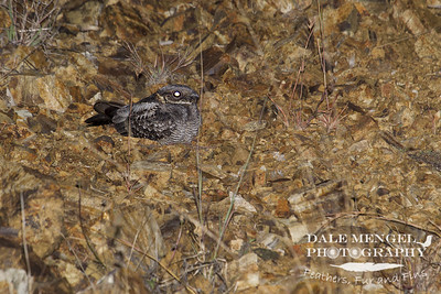 White-throated Nightjar (Eurostopodus mystacalis)