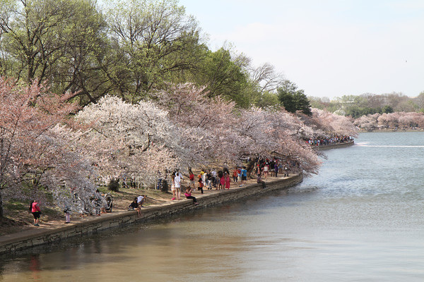 2014 Cherry Blossoms