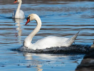 Swans, Ducks, Mergansers, & Geese, 2018