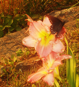 2010 July August Daylillies