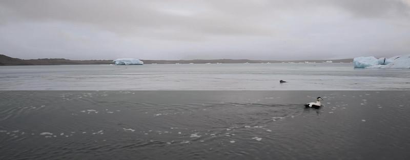 Eider in Iceland