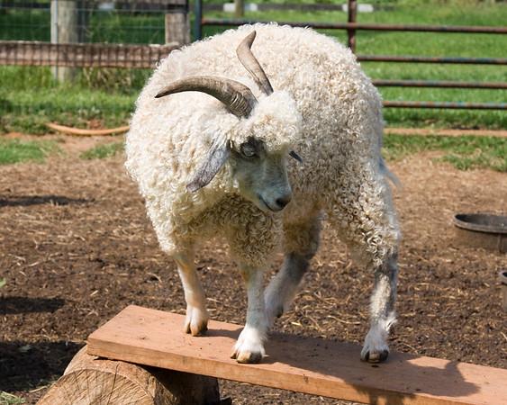 Goats, July 5, 2011