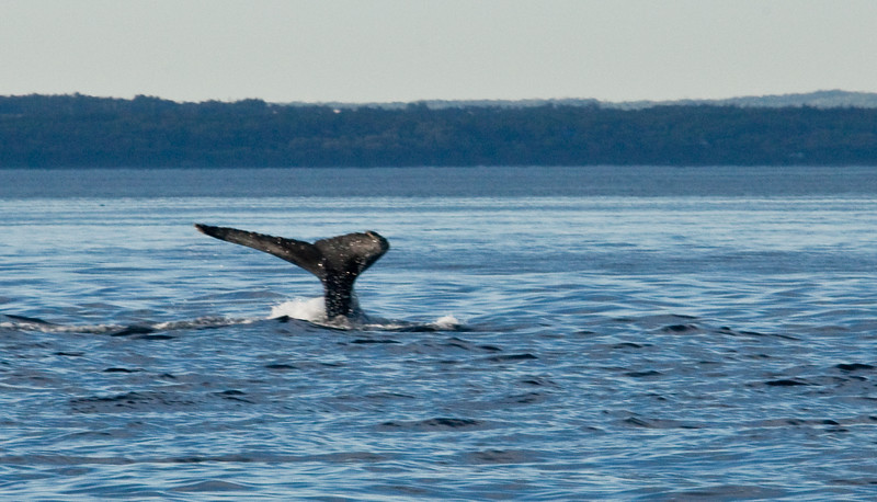 2011 quebec whale watching (61 of 80).jpg