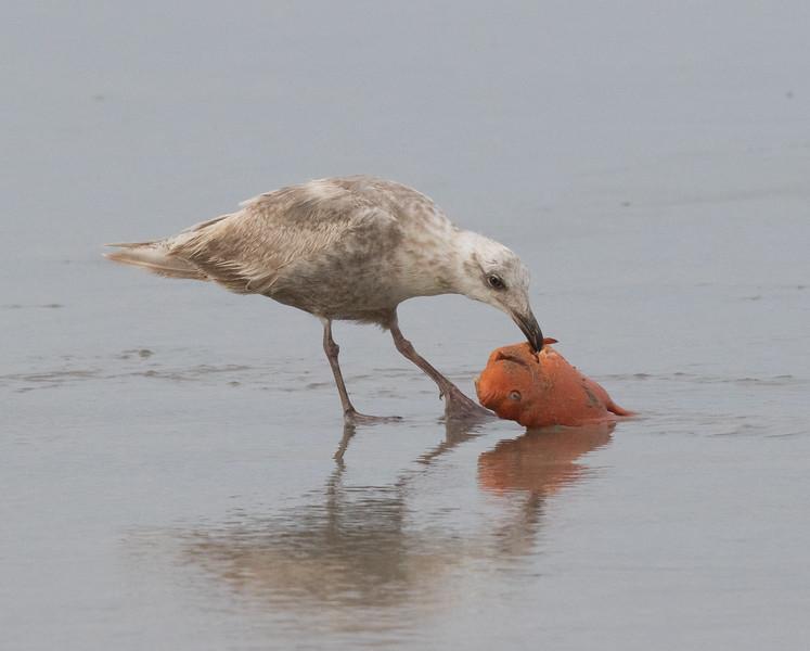 Glaucous-winged Gull  San Elijo Lagoon 2020 05 11-2.CR2