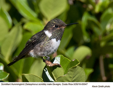 Scintillant Hummingbird F83047.jpg