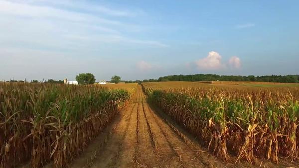 corn and hay