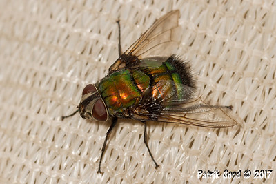 Red-headed Rutilia Fly