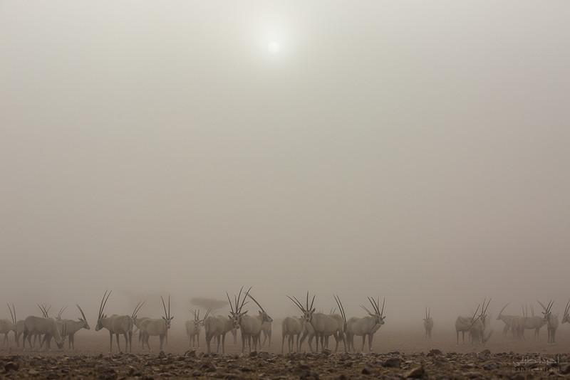 Arabian Oryx (50).jpg