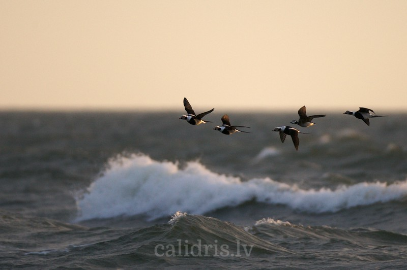 Long-tailed Ducks in flight over a sea (ad. winter, 3 male, 1 female)