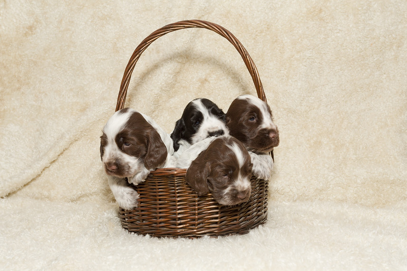 two puppy of brown English Cocker Spaniel