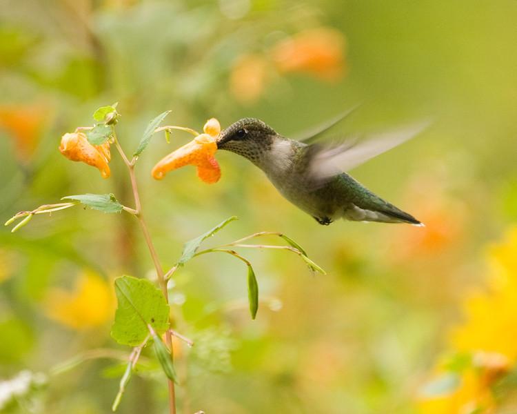 Hummingbird - Ruby Throated Hummingbird (juv.) - D6725