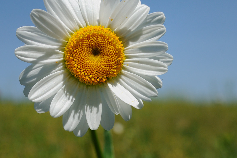 I just love daisies, period.