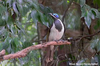 Blue-faced Honeyeater, Australia