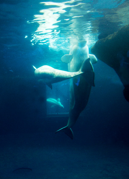 belugaanddolphinsunderwater.jpg