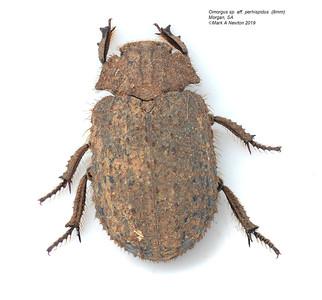 Omorgus sp. aff. perhispidus
