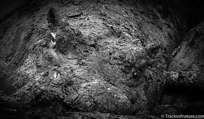 Hippo in mud pool, Ngorongoro Crater