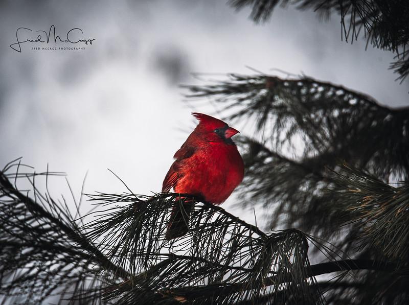 Cardinal 2 with logo.jpg