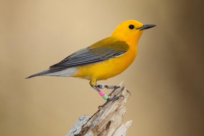 Color banded Prothonotary warbler