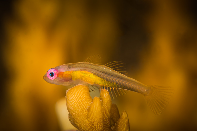 Pink-Eyed Goby