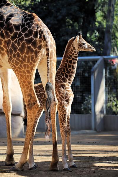 IMG_3437 Giraffe 600MM Little one.jpg