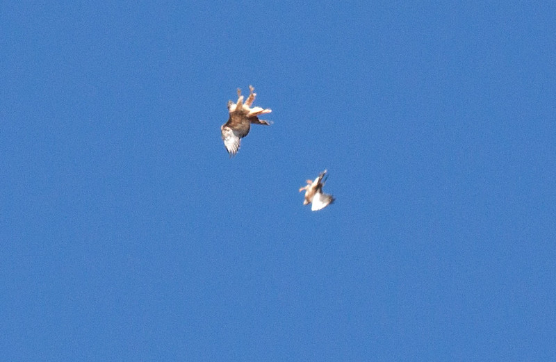 One of a pair of Swainson's Hawks (right, lower) harassing a Red-tailed Hawk