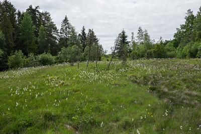 Cyperaceae Halvgräs