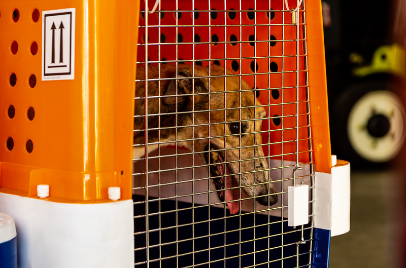 One of the five greyhounds who just arrived at Miami International Air from Macau China on Wednesday, January 2, 2019. Elite Greyhound Adoptions in Loxahatchee Groves has been rescuing greyhounds from the infamous Canidrome, in Macau, China.  The Canidrome closed in July 2018 and over 600 dogs are being shipped to rescues in Europe and America. The dogs are crated in Macau, transported to the airport in Hong Kong, flown to Frankfurt, Germany, transferred to another plane and then flown to Miami International Airport, where they pass through customs and eventually get picked up by Sonia Stratemann of Elite Greyhound Adoptions. [JOSEPH FORZANO/palmbeachpost.com]