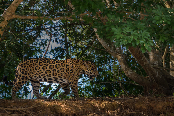 Brazil - Wildlife of the Pantanal