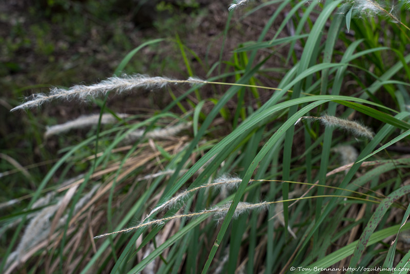 Mystery grass 3 (Imperata cylindrica/Blady Grass)?