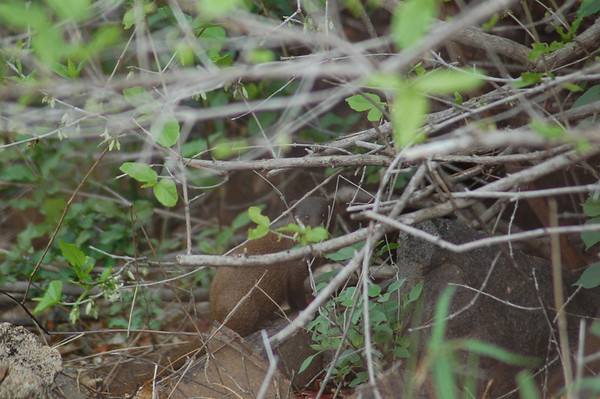 Kruger Mongoose