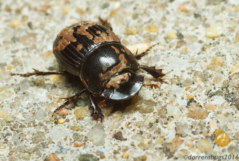 Dung beetle - Scarabaeidae: Scarabaeinae: possibly genus Copris (Iowa, USA).